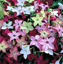 100 Heirloom Mix Nicotiana Flowering Tobacco Seeds