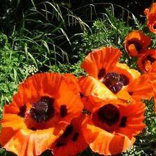 Poppy- Orientale Orange-Scarlet- 200 Seeds- 50 % off sale