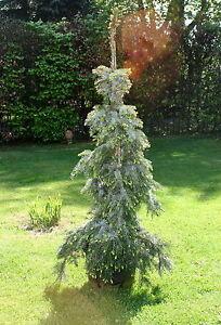 Serbische Fichte Picea omorika 'Pendula Bruns' 70 - 80 cm Co. oder Ballen