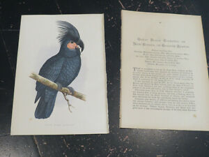 Black Cockatoo - Parrots in Captivity, by Greene.  London ca: 1884