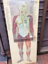 Vtg Cram Thin Man Anatomical 4 Overlay Chart - Double Sided & Intricately Detail