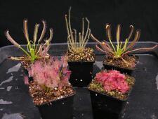 Carnivorous Drosera Sundew Conservatory Collection C