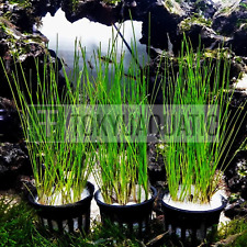 3 Giant Hairgrass Roots Potted Freshwater Background Live Aquarium Plant Tropica