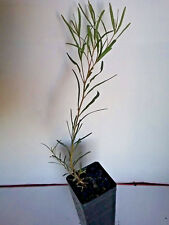 Eucalyptus halophila (Gum Tree) in 50mm forestry tube native plant tree