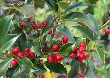 3 Holly 'JC Van Tol' Plants / Ilex aquifolium 'JC van Tol' 20-30cm in 9cm Pots