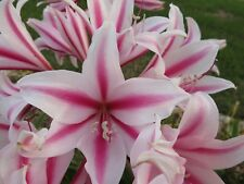 Crinum Lily, Herbertii 'Toast of Texas', large, blooming-size bulb, NEW, nice