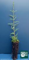 CUPRESSUS SEMPERVIRENS alveolo 1 Pianta 1 Plant Cipresso mediterraneo