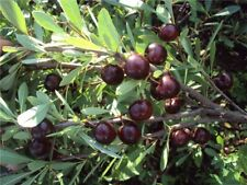 Cherry Bessey (Prunus besseyi = Prunus depress) 5 seeds
