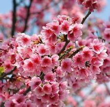 10 Seeds Cherry Blossom Seeds Sakura Oriental Cherry 10 Seeds