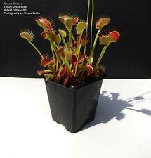 Venus Fly Trap 'D01' Cultivar House  Bog Garden Plants Dionaea Muscipula Insect