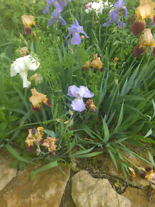 5 IRIS BULBS w/roots READY TO PLANT MIXED COLORS