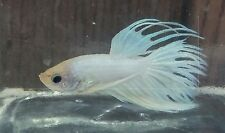Male Crowntail Betta (4)