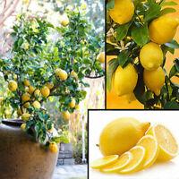 10x Lemon tree Seeds Heirloom Garden Tree Outdoor Fruit Indoor Rare Organic Seed