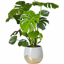 40-50cm Potted Monstera Deliciosa Best Indoor Plants for Sale