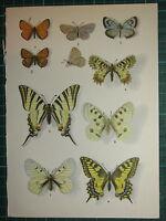 Vintage Natural Historia Estampado ~ Mariposa Golondrina Negro Apollo Adonis
