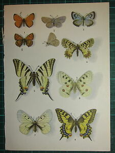 VINTAGE NATURAL HISTORY PRINT ~ BUTTERFLY SWALLOWTAIL BLACK APOLLO ADONIS BLUE