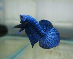 Blue Alien Betta - Breeding Pair - Full Mask - USA Only - VIDEO IN DESCRIPTION