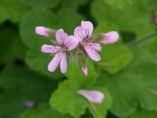 Pelargonium captitatum - True Rose Scented Pelargonium - 5  Seeds