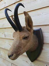 Taxidermy Mounts Genuine Alpine Chamois Head & Horn Wall Home Decor Nice Gift