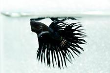 Live Betta Tropical Aquarium Fish Male Fancy Black Orchid Crowntail Freshwater