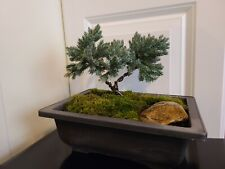 Bonsai tree - Blue juniper Bonsai.
