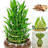 100pcs Lucky Bamboo Choose Potted UDSA Bonsai Variety Complete Dracaena Budding