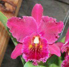 Orchids Laelia Cattleya Blc. Chia Lin 'New City' Am/Aos-Flower & Sheath!