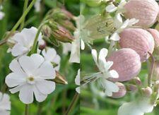 New listing 25 White Campion Plus 25 Bladder Campion Wildflower seeds ~ Organic
