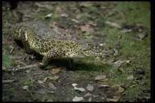 416021 cubano de cocodrilo Crocodylus rhombifer, A4 Foto Impresión