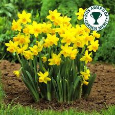 Narcissus Tete A Tete Dwarf Rockery Daffodil Spring Flowering Bulbs Plants