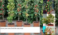 Heavy cropping Fruit tree collection:YOU GET 3 POT GROWN TREES: Plum cherry pear