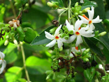 20 Seeds - JASMINE SEEDS NIGHT FLOWERING ( Nyctanthes arbor-tristis ) Parijat