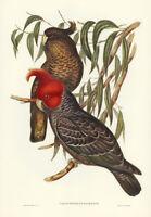 JOHN GOULD GANG-GANG COCKATOO VINTAGE BIRD ART PRINT POSTER