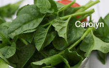 Spinach Medium Vegetable Plant Seeds