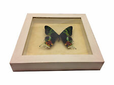 Madagascar Sunset Moth Real Butterflies in Shadowbox Mount