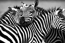 Black And White African Zebra Family Poster Print Home Pictures Animal Wall Art