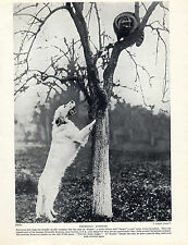 ENGLISH SETTER AMERICAN DOG AND RACOON IN TREE OLD ORIGINAL PRINT PAGE FROM 1934