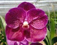 RON. Vanda Orchid. Premium clone - V. Fantastic Fanfare (8564)