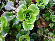 3 Saxifraga Umbrosa rooted offsets London Pride Alpines Groundcover Rockeries