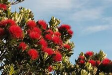 für Terrasse und Balkon: der schöne rote Weihnachtsbaum aus Neuseeland !