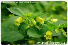 Atropa belladonna var. lutea 'Yellow Belladonna'  RARE 200+ SEEDS