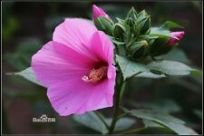 HARDY HIBISCUS moscheutos Huge Tropical Blooms Mix four colours 30 flower seeds