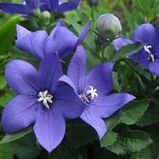 Balloon Flower- Blue- 25 Seeds - 50 % off sale