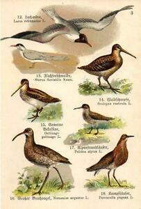 1910  SCHREIBER ATLAS CHROMO Birds: gull, tern, snipe, woodcock, curlew, ruff