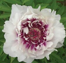 """ITOH  PEONY PLANT """"ANN"""" (NOT SEEDS) WITH EYES!"""