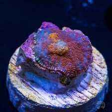 Purple Drank Mushroom ~ Wysiwyg Live Coral Frag ~ World Wide Corals ~ #152