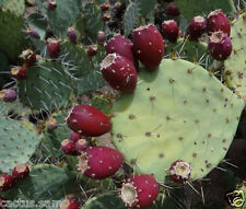 25 Red Prickly Pear Cactus Seeds, Opuntia engelmannii, Cold Hardy, Sweet, Nopal.