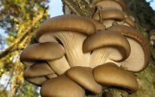 OYSTER MUSHROOM SPAWN/SEEDS-brown/grey OYSTER mushrooms/pleurotus/dry seeds
