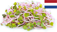 Microgreens Anticancer Microgre 30G BLACK LENTILS Seeds Sprouting Organic 1170+