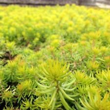 Sedum Angelina Rupestre Alpine Groundcover Perennial Stonecrop 5 Cuttings